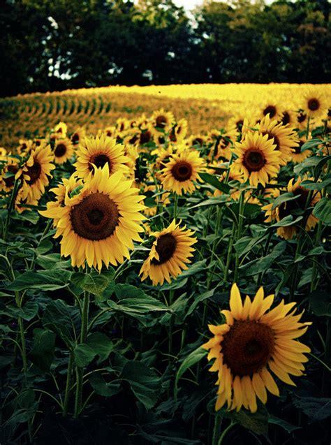 sunflower field  tumblr