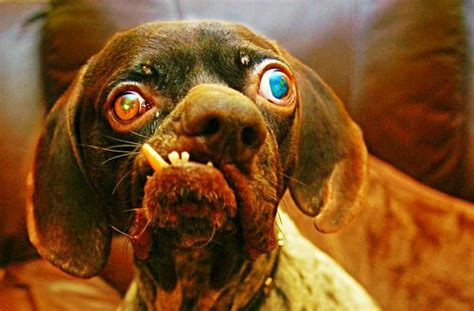 breeding selective dogs dog gone bad ban cons pros why inbred purebred breed ugly blooded import source lovers true doubt