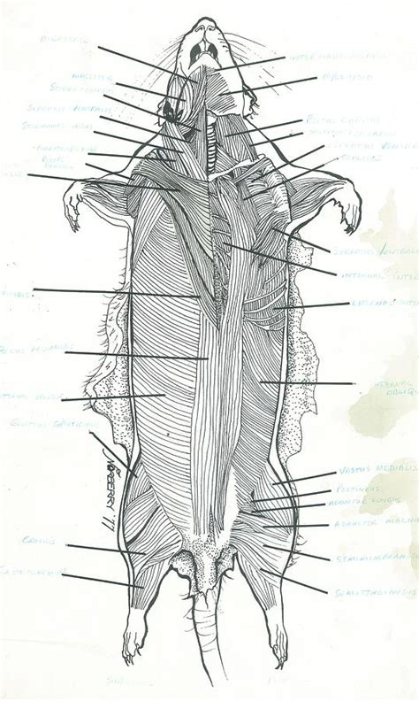 superficial dissection rat musculature drawing  valerie