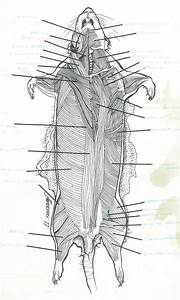 Superficial Dissection Rat Musculature Drawing By Valerie