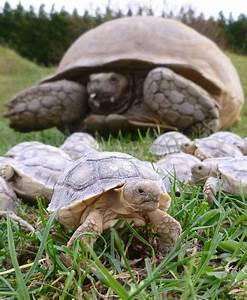 sulcata tortoises | Turtles | Pinterest