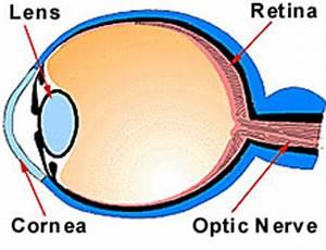 Eyes Diagram Rods Cines : how do we see light asu ask a biologist ~ A.2002-acura-tl-radio.info Haus und Dekorationen