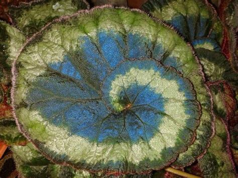 peacock begonias mysterious iridescent blue hue lets