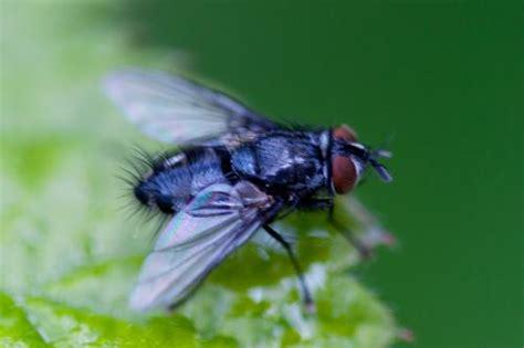 eumea sp mouche bleue de la for 234 t de montmorency le monde des insectes