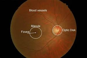 Retinal Structures  Optic Disk  Blood Vessels And Fovea