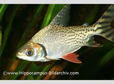 Semaprochilodus taeniurus Flagtail Characin — Seriously Fish