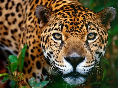 animal  wallpapers animal jaguar  wallpapers