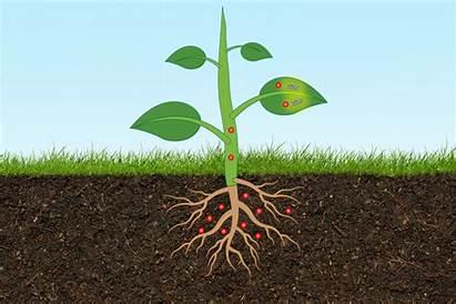 Plant Soil Arsenic Sensor Monitor Levels Mit