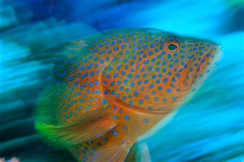 grouper spotted fiji wildlife awards strait somosomo