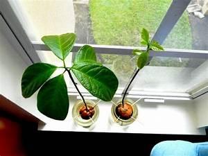 Avocado Baum Pflege : avocado anpflanzen wie kann man ein avocado b umchen z chten garten pinterest garten ~ Orissabook.com Haus und Dekorationen