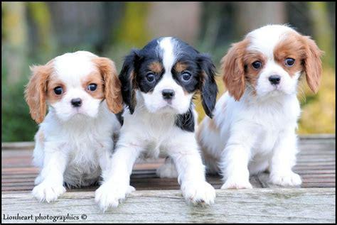 Cavalier King Charles Pups Te Koop Pups King Charles Te Koop Pups