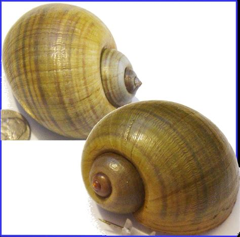 snail shell snail craft naturally collected harvested large florida apple snail 5444