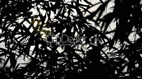 Wind Shaking Bamboo Silhouette,quiet Atmosphere In