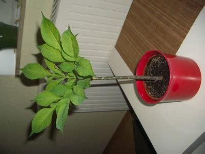 Wie Heißt Meine Zimmerpflanze by Wie Hei 223 T Meine Pflanze Amorphophallus Tr 228 Nenbaum