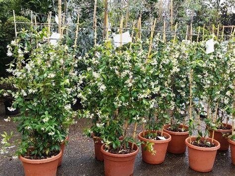 gelsomino coltivazione in vaso rincospermum ricanti coltivare falso gelsomino