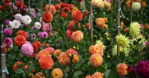 how do you grow dahlias how to grow dahlias from seed garden how