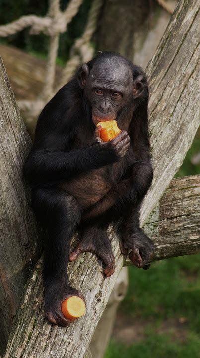 photo bonobo monkey primate eating  image