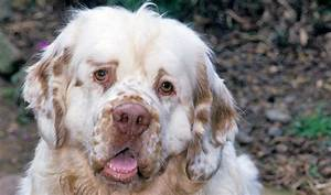 Clumber Spaniel Breed Information