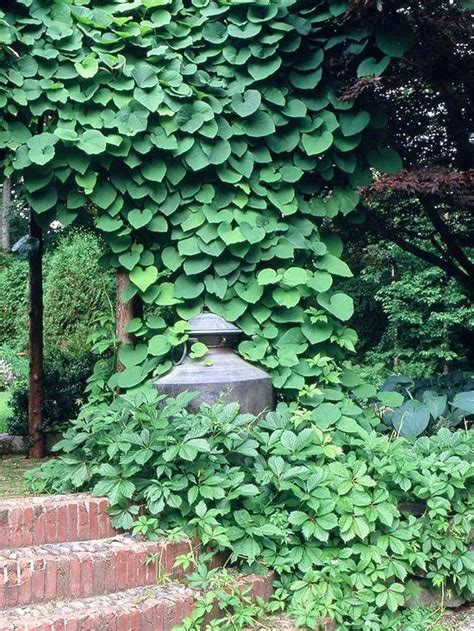 wall plants for shade 25 best ideas about vines on pinterest climbing flowering vines flower vines and backyard plants