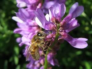 Рецепт от простатита из пчелиного подмора