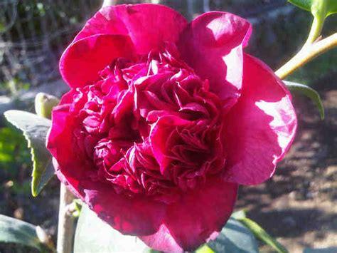 Tanaman Double Red Camellia Japonica BibitBunga com