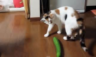 cat cucumber trending this cat s reaction to a cucumber is