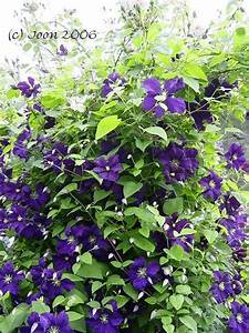 Lang Blühende Pflanzen : lang bl hende clematis gesucht page 2 mein sch ner garten forum ~ Eleganceandgraceweddings.com Haus und Dekorationen
