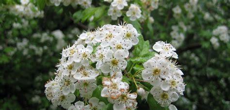 Vīģes ziedi: ārstnieciskas īpašības, pielietojums tautas medicīnā