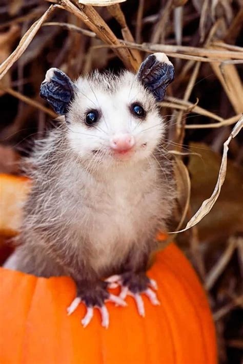 incredibly cute   possums  opossums