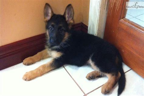 German Shepherd Puppy For Sale Near South Florida Florida Eb A