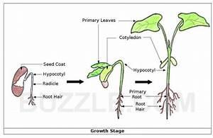 Pinto Bean Plant Life Cycle