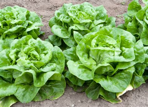 Lettuce Varieties A Guide To What's What Huffpost