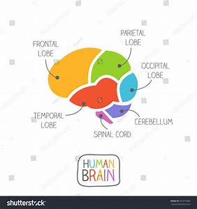 Human Brain Section Illustration Stock Vector 207575983