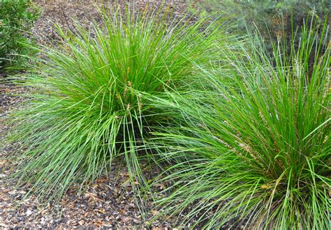 grass plant ornamental grass propagation learn about the propagation of ornamental grasses