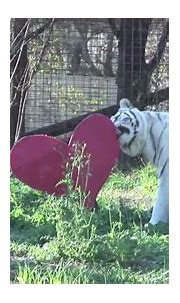 Lion & White Tiger - Playing with Heart :) - YouTube