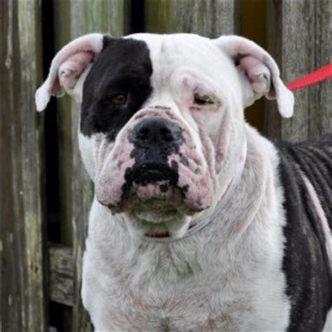 american bulldog rescue    profit dog rescue