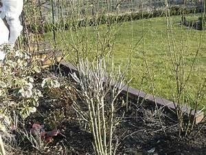 Hibiskus Wann Zurückschneiden : hibiskus schneiden hibiscus syriakus roseneibisch eibisch ~ Lizthompson.info Haus und Dekorationen