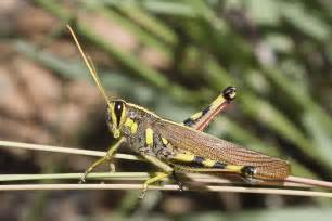 White Lined Bird Grasshopper