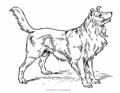 Coloring Dog Pages Dogs Collie