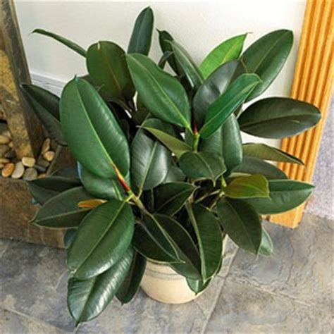 rubber tree plant myinfotogo decor easy to care for plants