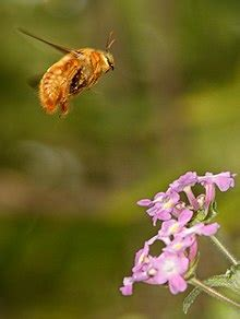 xylocopa varipuncta wikipedia