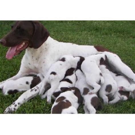 ruff trail kennels german shorthaired pointer breeder
