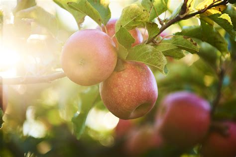 Sell Something Special | Pink Lady Apples