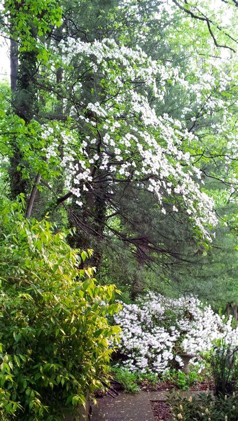 wild dogwood  azaleas dogwood trees landscaping