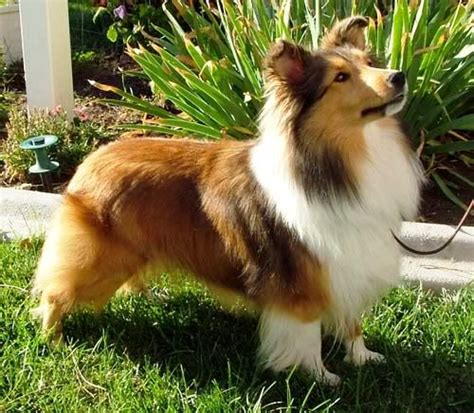 Shetland Sheepdog Shed A Lot by 10 Best Small Breeds That Are For Family Dogs