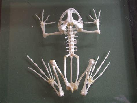 Animal Skeleton Wallpaper - frogs skeletons 1024x768 wallpaper animals frogs hd