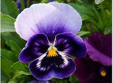 How to Plant and Grow Pansies Sunday Gardener
