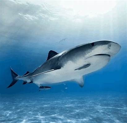 Shark Gopro Tiger Week Swimming Casagrande Andy