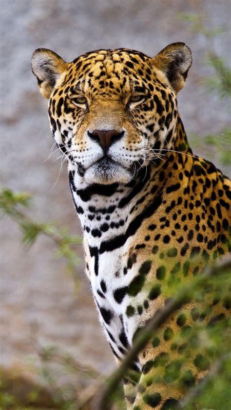 jaguar wallpapers top free jaguar backgrounds