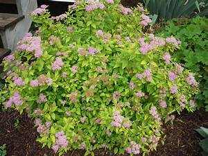 How To Grow Spirea
